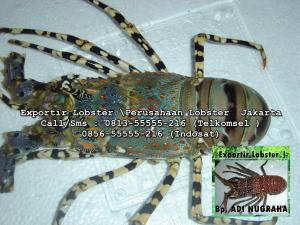 Exportir lobster di jakarta_Pembeli Lobster di Jakarta_Kalimantan_Sulawesi_Harga Lobster di Riau_supplier seafood_supplier lobster _perusahaan exportir_lobster air _gambar_loBster_exportir ikan_daftar_exportir