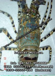 Lobster Mutiara