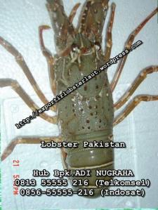 lobster Pakistan di jakarta_Pembeli Lobster Bambu di Jakarta_Kalimantan_Palu_Harga Lobster Pasir di Medan