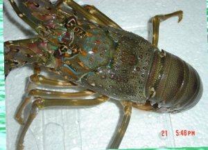 lobster Pasir di jakarta_Pembeli Lobster Bambu di Jakarta_Kalimantan_Palu_Harga Lobster Pasir di Medan-crop
